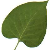 Syringa vulgaris (Lilas)