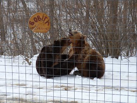 Sanctuarul de ursi LiBearty: ursi jucandu-se