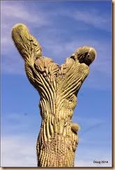 Crested Saguaro