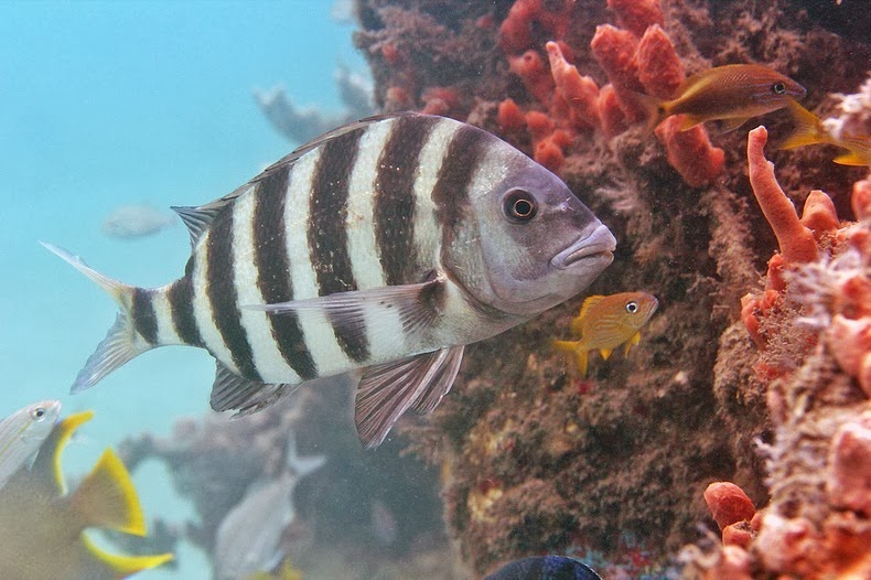 sheepshead-fish-3