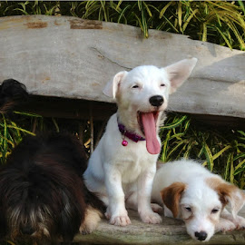 Tongue Stretching! by Dick Shia - Animals - Dogs Puppies