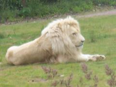 2008.07.01-035 lion blanc