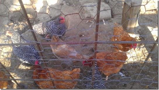 alpenhorn gasthaus chickens