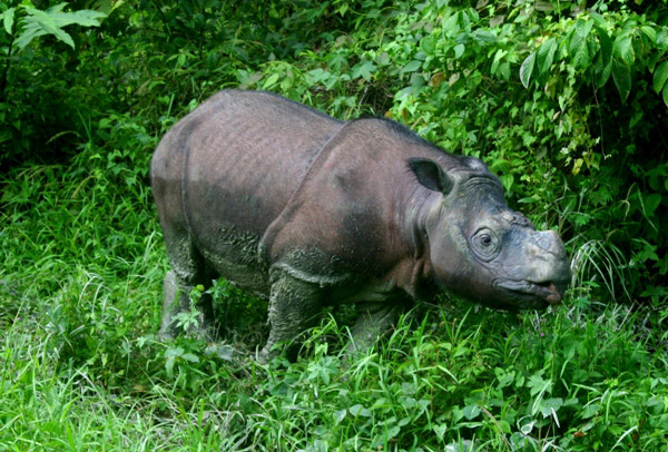 Sumatran rhino in Sabah, a neighboring state in Malaysian Borneo. Photo: Jeremy Hance