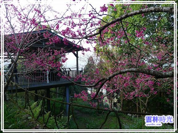 農場內的櫻花