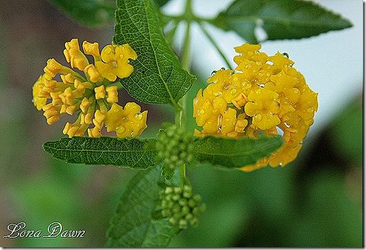 Lantana_Yellow_Rain