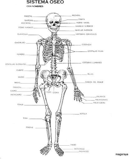 El sistema óseo para colorear para inicial - Imagui