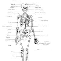 cuerpo humano sistema óseo