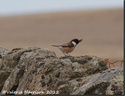 51-stonechat-and-emperor