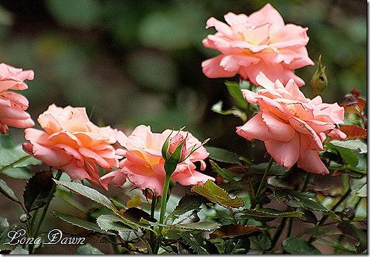 BillWarriner_Roses