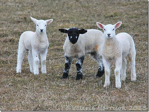 77-lambs