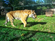 2013.10.26-035 tigre