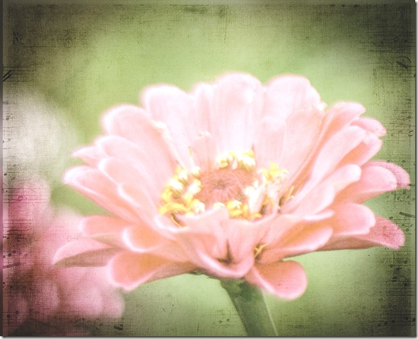 pink zinnia with textures