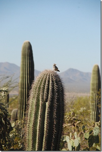01-02-12 Saguaro National Park - West 006