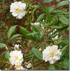 bhd cream roses