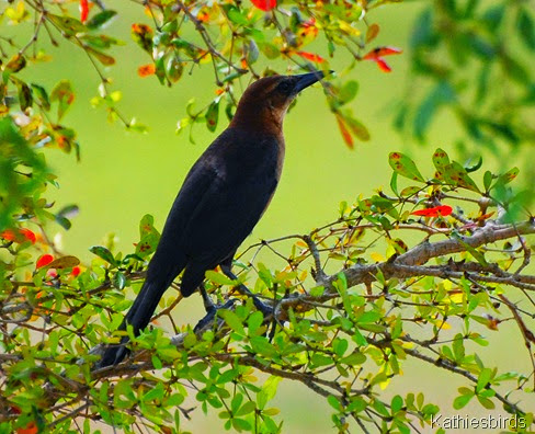 5. boat-tailed grackle-kab