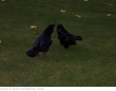 'Ravens at the Tower of London' photo (c) 2009, Neil Willsey - license: http://creativecommons.org/licenses/by-sa/2.0/