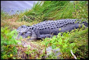 03 - Napping Gator