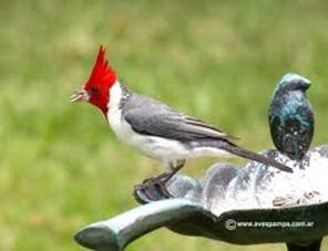 Amazing Pictures of Animals,photo, Nature, exotic, funny, incredibel, Zoo, Northern Cardinal, (Cardinalis cardinalis), Bird, Aves, Alex (4)