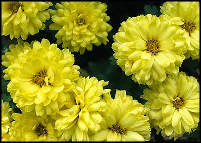 Chrysanthemums4