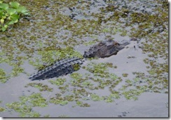 Gator at Lettuce Lake Park in Tampa FL