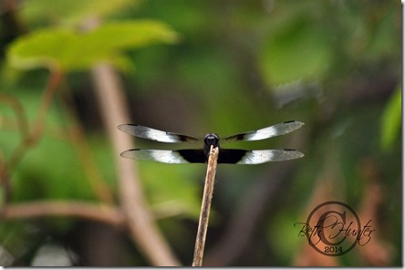 widow-skimmer-dragonfly-441