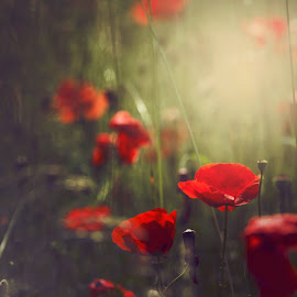 by Jeni Davranova - Nature Up Close Other plants ( macro, red, poppies, bulgaria )