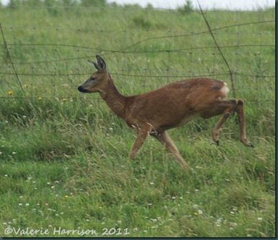 8-roe-deer