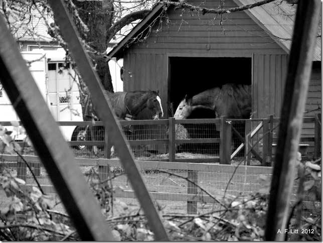 Horses, Springwater Corridor.  Photo of the Day, February 2, 2012. Portland, Oregon.  January 20, 2012.
