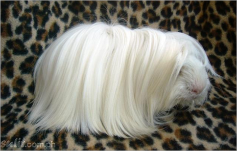 Peruvian Satin Guinea Pig