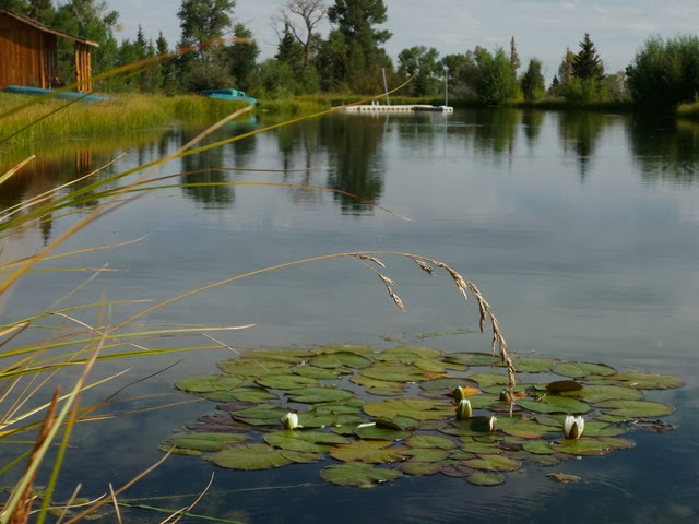 Lilies on pond at the 7F Ranch.