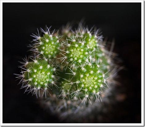 110813_rat_cactus