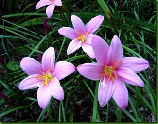 Zephyranthes pink