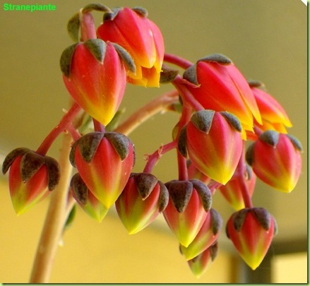 Echeveria purpusorum fiori