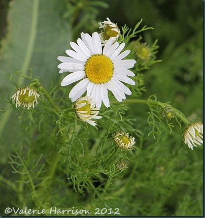 40-Scentless-Mayweed