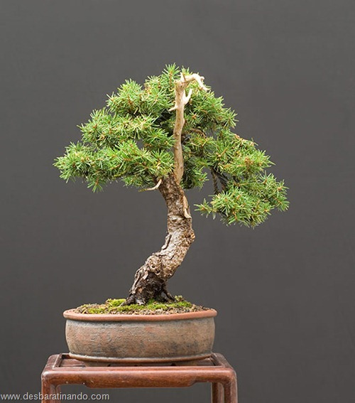 bonsais arvores em miniatura desbaratinando (73)