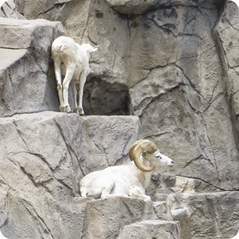 The Denver Zoo big horn sheep