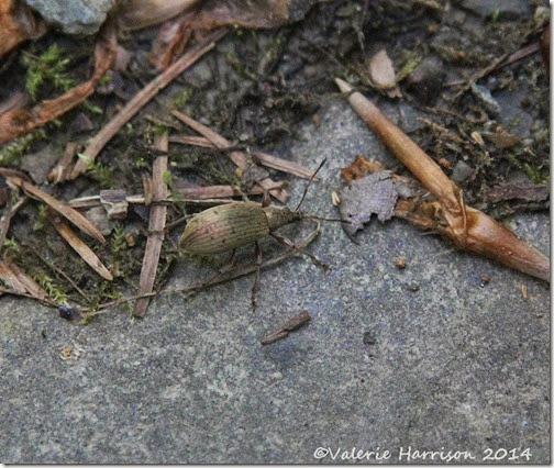 11-weevil