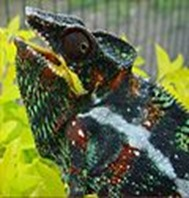 Amazing Pictures of Animals, photo, Nature, Exotic, Funny, Incredibel, Zoo, Panther chameleon, Furcifer pardalis, Reptilia, Alex (6)