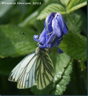 green-veined-white-on-bluebell