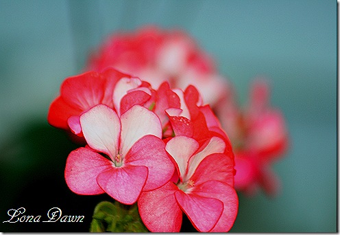 Pelargonium_RedHorizon