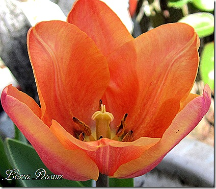 Tulip_ApricotBeauty2