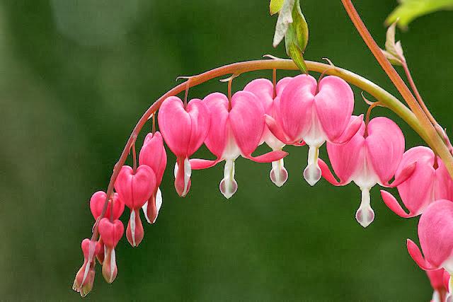 الزهرة الساحرة زهرة القلب النازف تجعل قلبك يدق من شدة جمالها - أخبار وطني