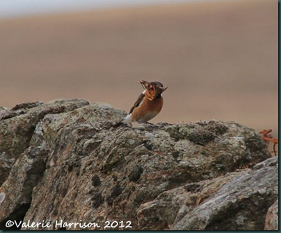 53-stonechat-and-emperor