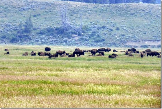 Buffalo heard