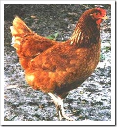 rhode-island-red-chicken-0001