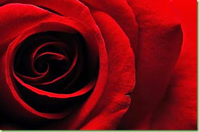 Dark-Red-Rose-10