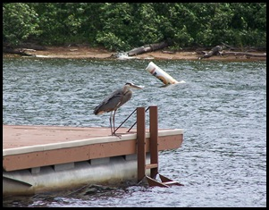 Heron on the swim raft