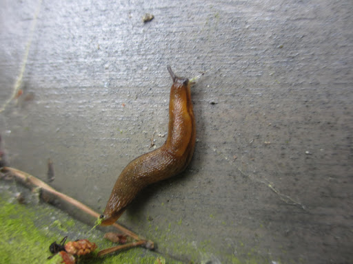 Here's a friendly Swedish slug we met...said his name is Bjorn...
