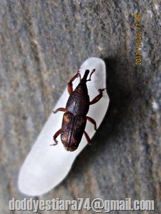 Kumbang Moncong: Sitophilus oryzae – Kutu Beras